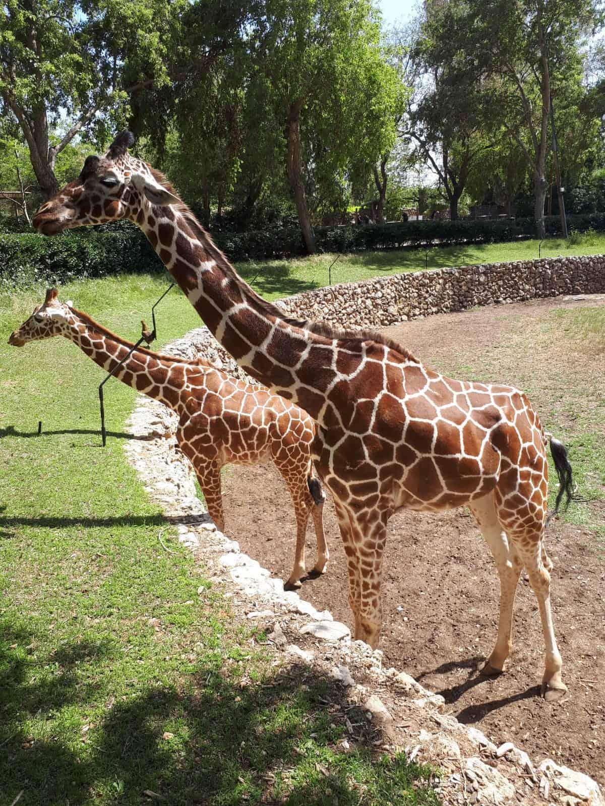 בספארי חיות 7 ג'ירפות, עושים כבוד לדניס, יום הג'ירפה שמח, צילום: צילומים: שגיא טבצ'ניק ואדם לוי
